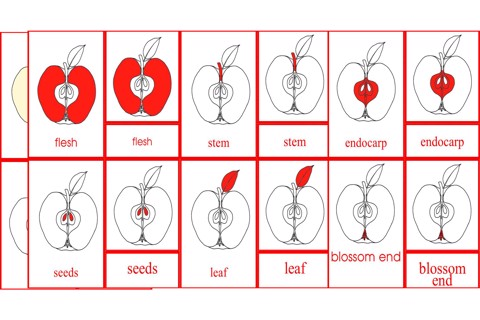 Parts of the Fruit Primary Nomenclature Cards (red isolation)
