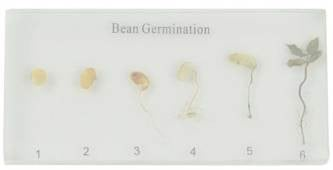 Bean Germination