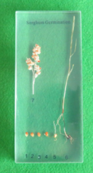 Sorghum Germination