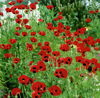Hoa poppy Lady Bird