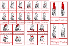 Parts Of The Human Foot Cards Age 3 to 6