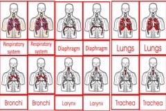 Parts Of The Human Respiratory System Cards Age 3to6