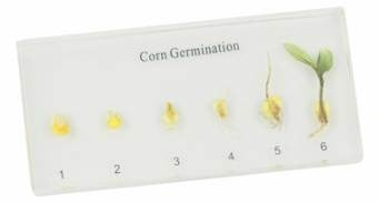 Corn Germination
