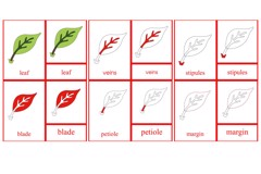 Parts of the Leaf Primary Nomenclature Cards (red isolation)