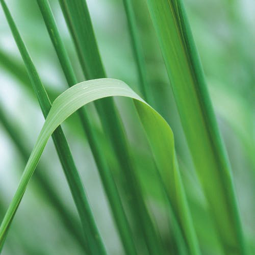 Tinh Dầu Thiên Nhiên Hương Sả Chanh Nomad Essential Oils Lemongrass