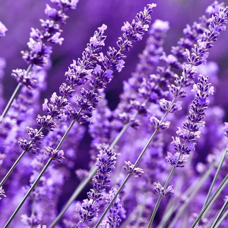 Tinh Dầu Thiên Nhiên Hoa Oải Hương Nomad Essential Oils Lavender