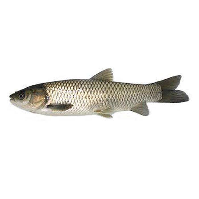Cá trắm trắng (trắm cỏ)