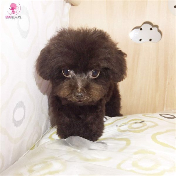 Poodle T-cup đực Chocolate