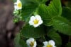 closeupofwhitestrawberryflowers