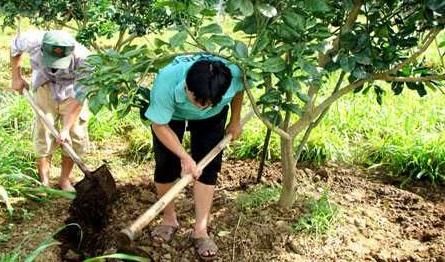Kỹ thuật trồng bưởi da xanh hiệu quả