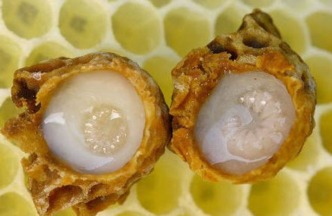 sua ong chua-1