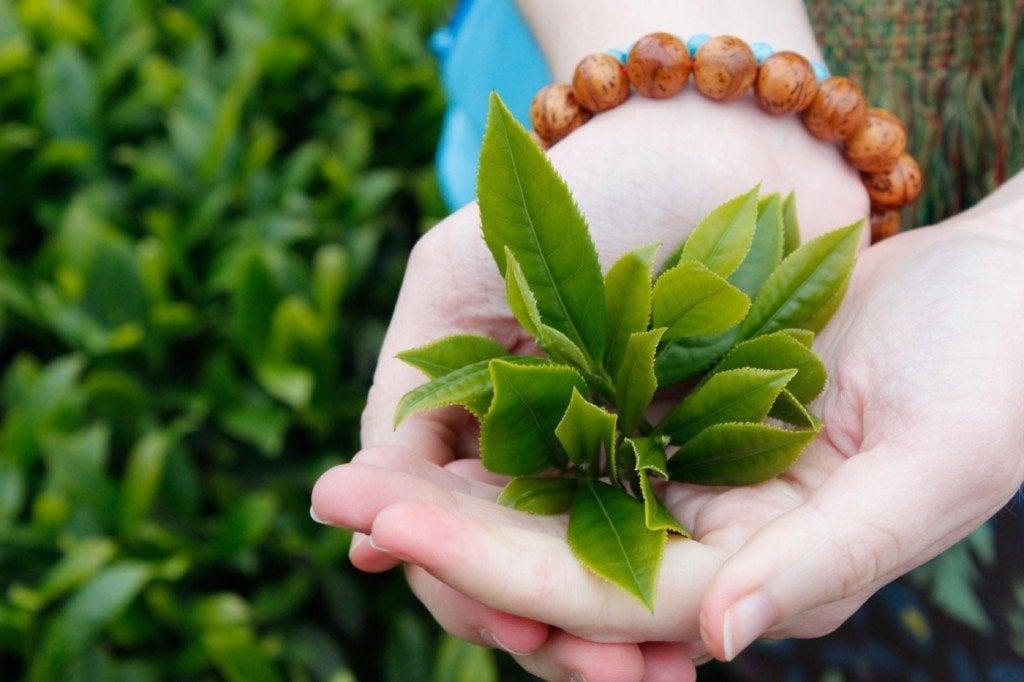 Chiết xuất trà xanh nguyên chất có tác dụng diệt khuẩn,cân bằng lượng dầu và ẩm tốt cho da