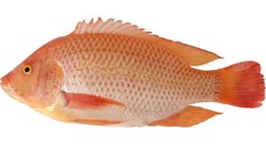MF-Red Tilapia Fish