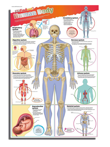 Poster Human Body