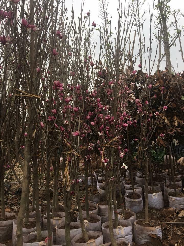 Cây đã có hoa làm quà biếu Tết, cao 3m đường kính gốc 4cm có giá 4,8 triệu đồng /cây.