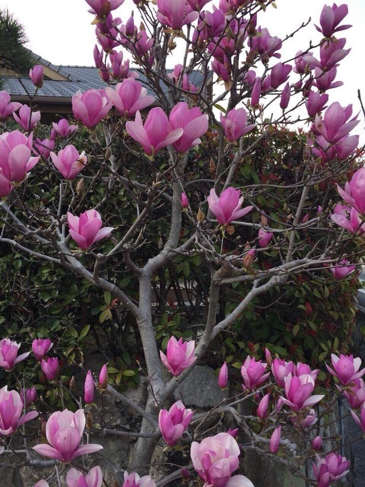 Hoa mộc lan rụng hết lá, mùa xuân từ những đầu cành nở rộ những cánh hoa lớn như hoa sen, vươn thẳng lên trời.