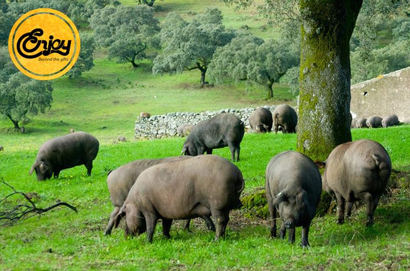 Những chú heo Tây Ban Nha được chăm sóc theo cách đặc biệt